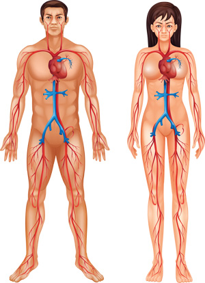 The Circulatory System