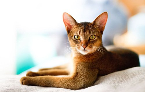 The Abyssinian Cat