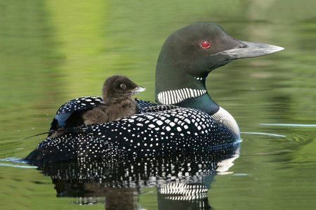 Baby Loon riding on mother's back
