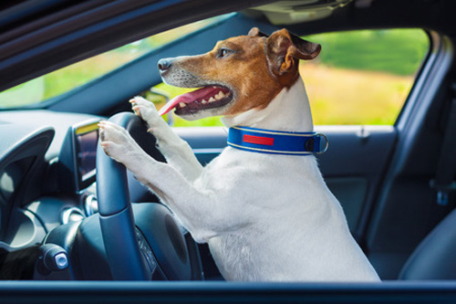 dog driving a steering wheel